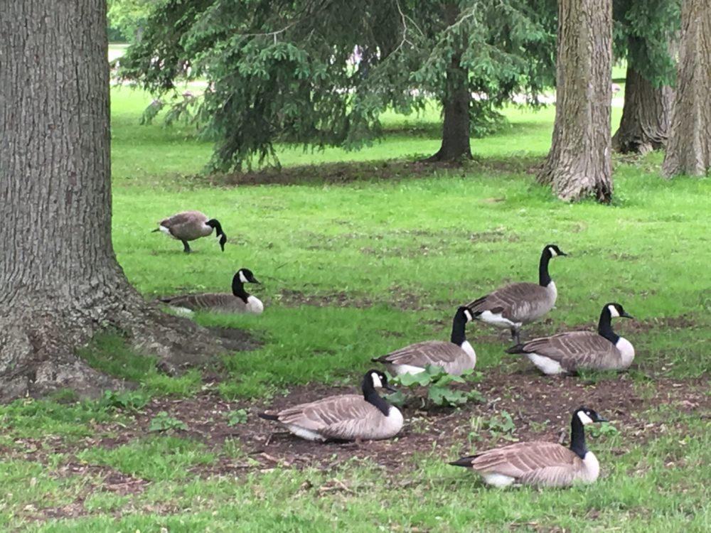 Canada Geese Riverside Park Guelph Ontario