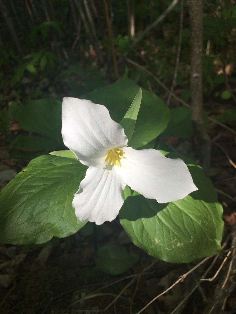 White Trillium Flower in Judge C.R. Magney State Park